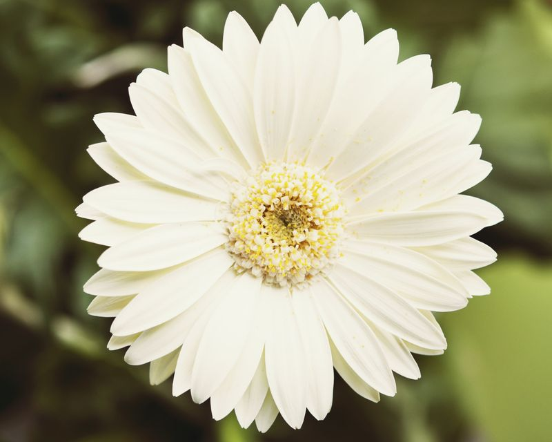 Daisy blooming